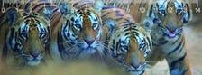 MC907 - Bengal tigers Bengáli tigrisek 3D vonalzó 148 * 55 MM