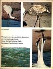 Novakowski, N. S. - Whooping crane population dynamics on the nesting grounds,  Wood Buffalo National Park,  Northwest Territories,  Canada (A Lármás daru populációjának változásai fészkelőhelyén,  Wood Buffalo Nemzeti Park Észak-Nyugat Kanadában) [antikvár]